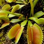 Grow Your Own Venus Fly Trap - Just Add Water